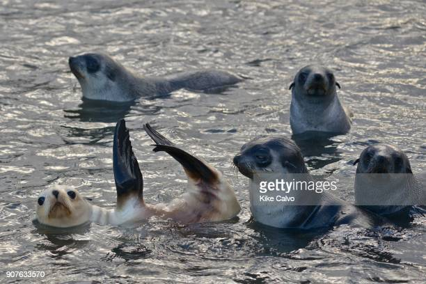 Blond or gold morph Antarctic Fur Seal Stromness Bay in South Georgia
