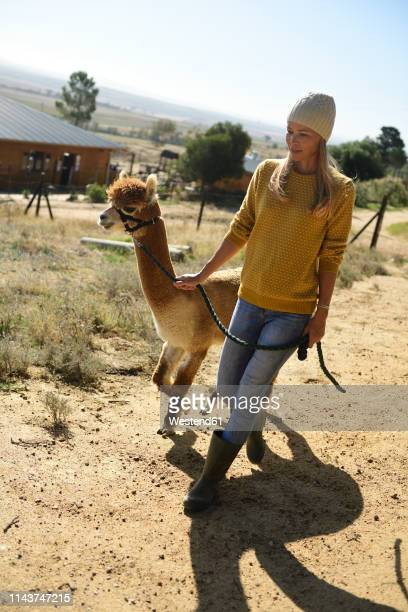 blond woman strolling with leashed alpaca - alpaga photos et images de collection