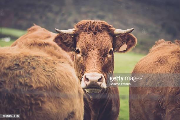 blonde calf - comunidad autónoma de galicia fotografías e imágenes de stock