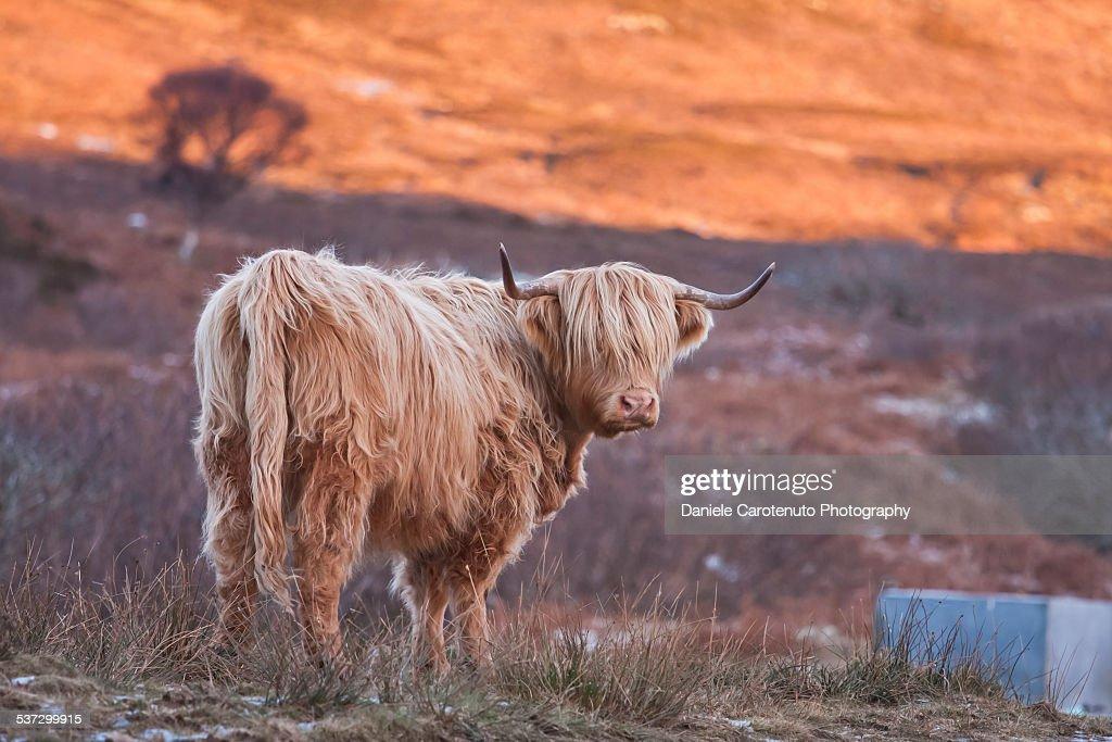 Blonde cow : Stock Photo