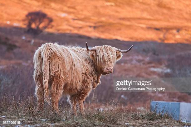 Blonde cow