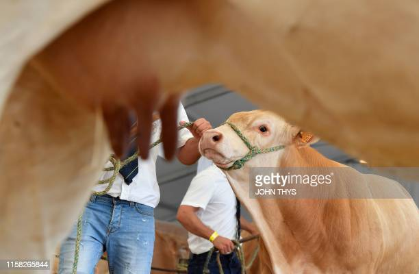 A Blonde d'Aquitaine breed cow is held by the bridle before a competition during the Libramont outdoor agricultural fair in Libramont Belgium on July...