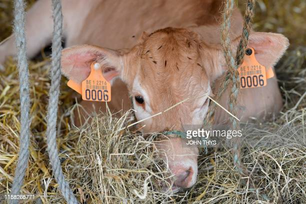 A Blonde d'Aquitaine breed cow lies down in its enclosure during the Libramont outdoor agricultural fair in Libramont Belgium on July 26 2019 The...