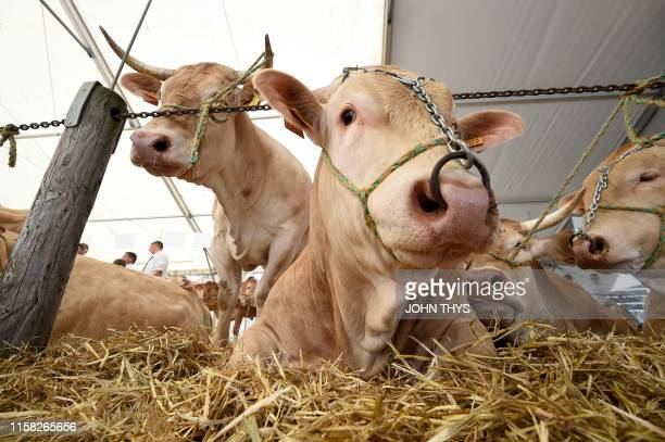 Blonde d'Aquitaine breed cows lie down in their enclosure before a competition during the Libramont outdoor agricultural fair in Libramont Belgium on...
