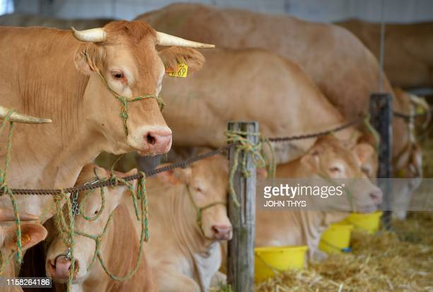 Blonde d'Aquitaine breed cows stand in their enclosure during the Libramont outdoor agricultural fair in Libramont Belgium on July 26 2019 The...