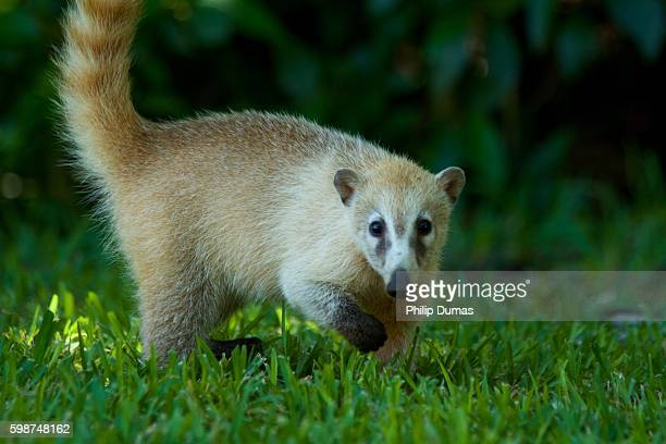 blonde white-nosed coati (nasua narica) - coati stock pictures, royalty-free photos & images