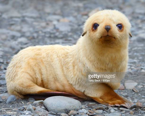 blondie - seal pup stock pictures, royalty-free photos & images