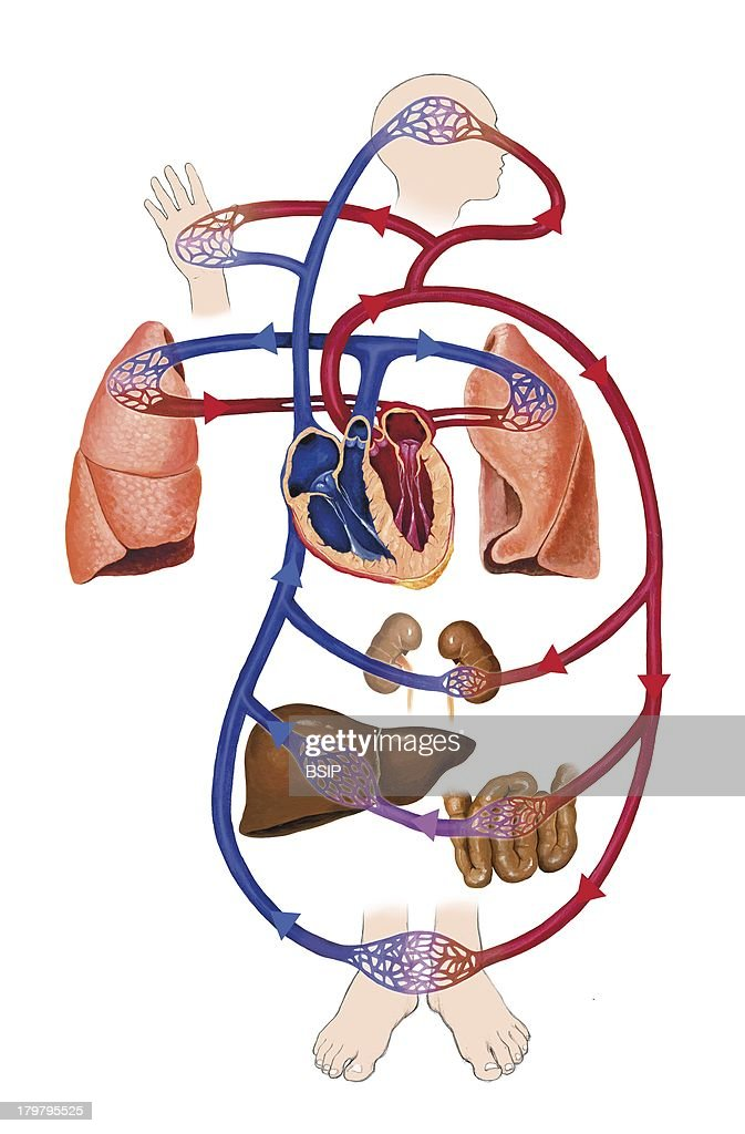 Blood Circulation Illustration Pictures Getty Images