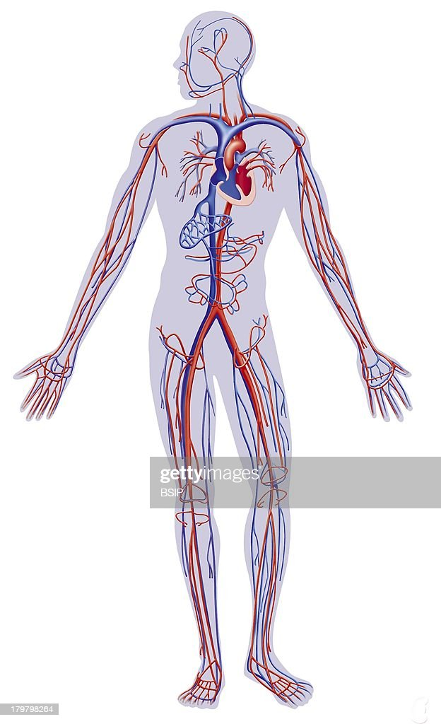 Blood Circulation Illustration Circulatory System Vein Artery