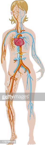 Blood Circulation Illustration