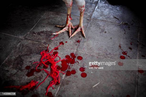 Blood from the wounded rooster is visible as it stands during the sacred 'Aci Keburan' ritual at Nyang Api Temple on February 16 2012 in Gianyar Bali...