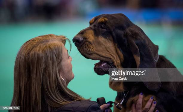 A blood hound reacts as he waits to be taken to the show ring on the first day of Crufts Dog Show at the NEC Arena on March 09 2017 in Birmingham...