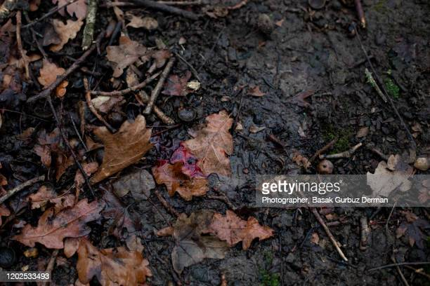 blood on forest floor - murder stock pictures, royalty-free photos & images