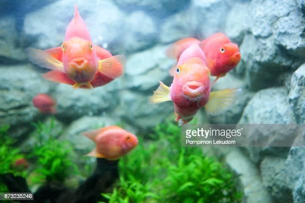 blood parrot cichlid - aquarium haustierbedarf stock-fotos und bilder
