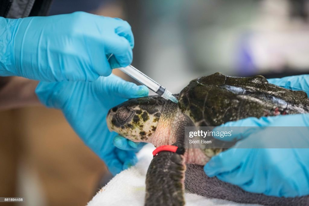A blood sample is taken from a Kemp's Ridley sea turtle at the New England Aquarium's Sea Turtle Hospital, Nov. 29, 2017.
