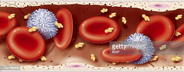 Blood Vessel Drawing Showing The Anatomy Of A Large Blood Capillary And Its Contents Blood Containing Red Blood Cells White Blood Cells And Blood...
