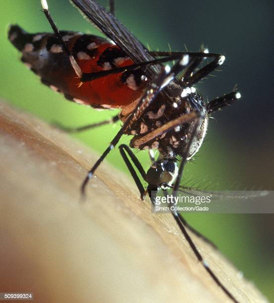 Blood-engorged female Aedes albopictus mosquito feeding on a human host. Under experimental conditions the Aedes albopictus mosquito, also known as...