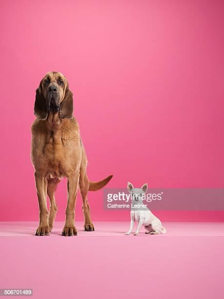 Bloodhound and Chihauhau