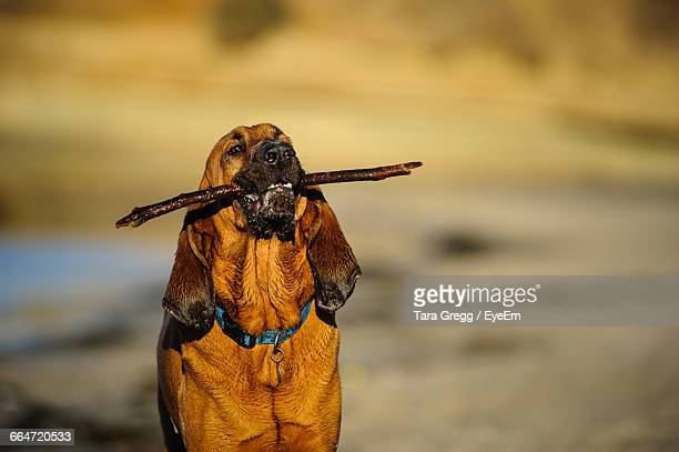 Bloodhound Holding Carrying Stick In Mouth