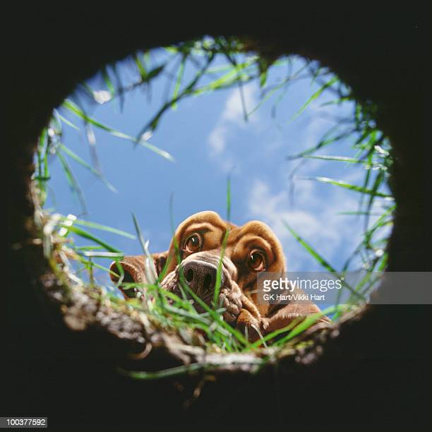 Bloodhound looking into hole