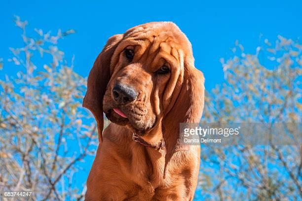 Bloodhound puppy in sunlight, Arizona, USA