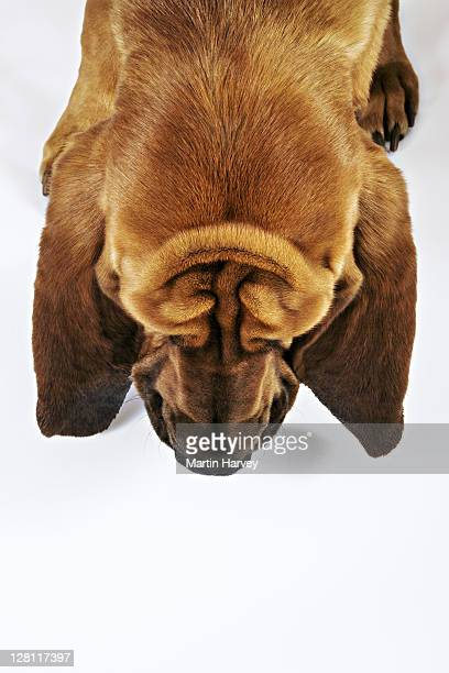 Bloodhound (aka St. Hubert Hound). These good natured dogs were bred to track humans and could follow a scent hours or even days old, over long distances