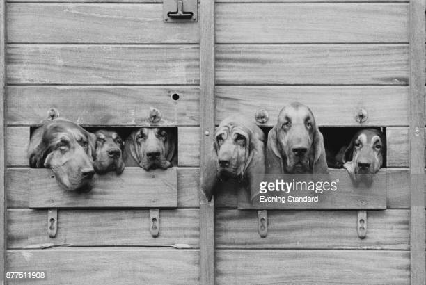 Bloodhounds participating in Windsor Forest Hunt UK 24th October 1978