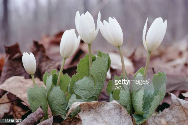 bloodroot flowers - resilience stock photos and pictures
