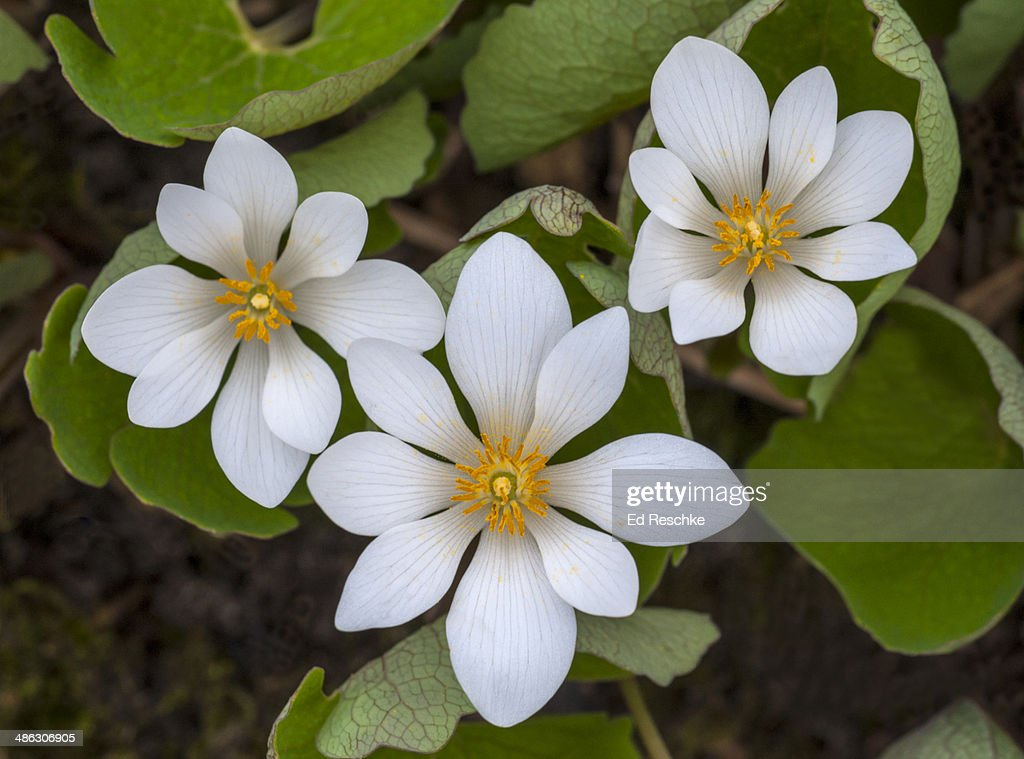 Bloodroot One Of The Earliest Spring Wildflowers Stock Photo