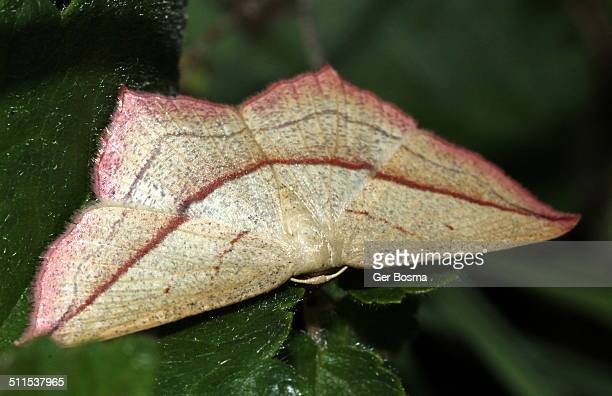 blood-vein moth (timandra comae) - geometridae stock photos and pictures