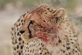 young wild cheetah from kalahari desert