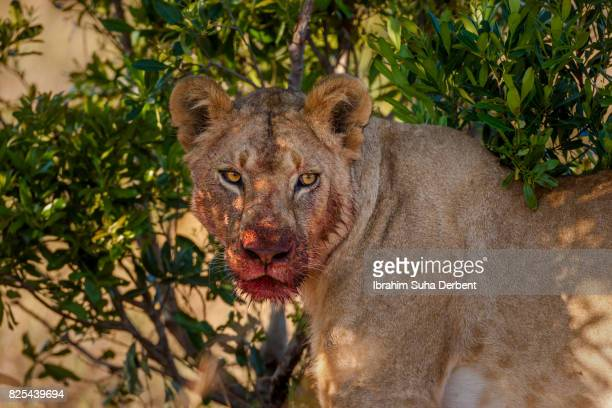 Bloody face of a lioness
