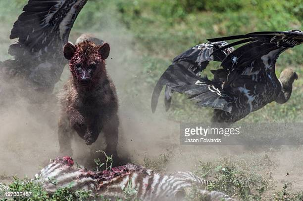 A bloody female Spotted Hyena chases Ruppell's Vultures away from it's Zebra foal kill on the dusty savannah.