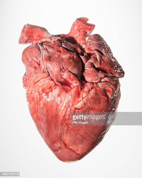 bloody pig's heart - animal internal organ stock photos and pictures
