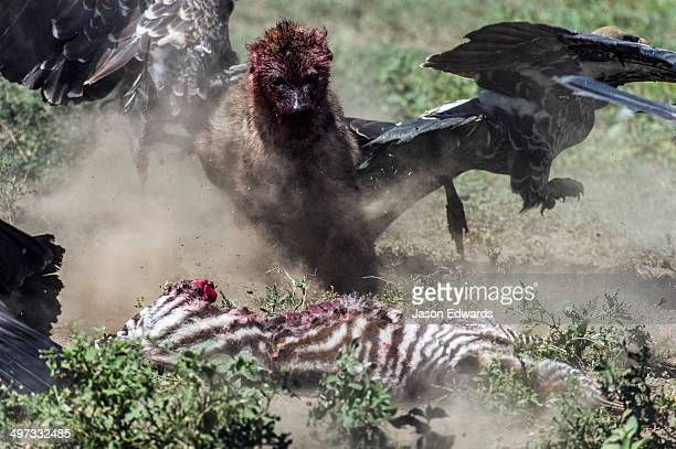 A bloody Spotted Hyena chases Ruppell's Vultures away from its zebra foal kill on the dusty savannah.