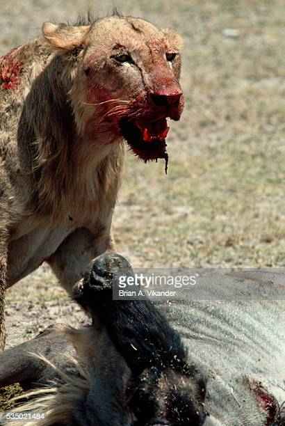 Bloody Young Male Lion with Kill