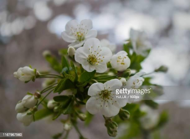 bloom - サルニア ストックフォトと画像