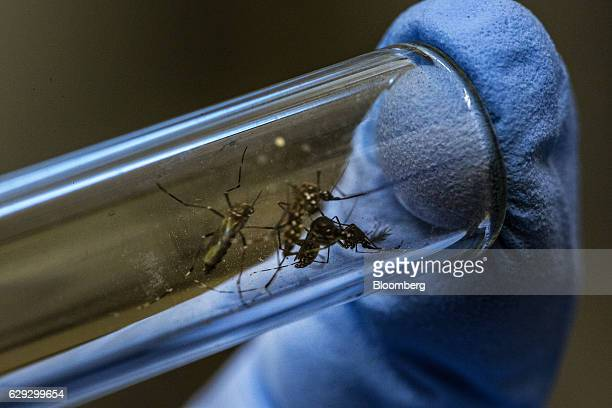 A lab technician displays Aedes aegypti mosquitoes infected with Wolbachia bacteria in a test tube for a photograph at the Oswaldo Cruz Foundation in...