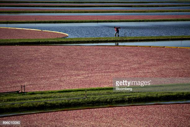 A worker stands on a dike between flooded cranberry bogs during a harvest in Camp Douglas Wisconsin US on Wednesday Oct 18 2017 Photographer Daniel...