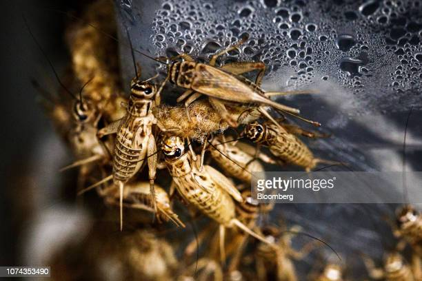 Crickets sit in plastic containers in a climate controlled growth room on the Siikonen family farm in Forssa Finland on Tuesday June 26 2018...