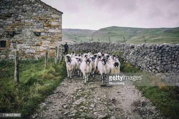 A farmer moves his flock of sheep along a stone path in the Yorkshire Dales near the village of Malham North Yorkshire UK on Friday Oct 18 2019...