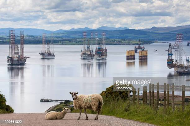 Bloomberg Best of the Year 2020: Sheep on a road in view of mobile offshore drilling units in the Port of Cromarty Firth in Cromarty, U.K., on...