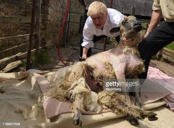 Polarizing Power Boris Johnson former UK foreign secretary shears a sheep during a visit to Nosterfield farm as part of his Conservative Party...