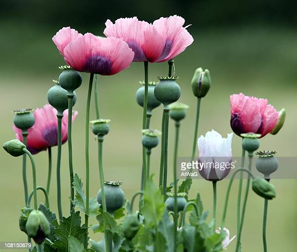 bloomed and unopened poppy flowers - poppy stock pictures, royalty-free photos & images