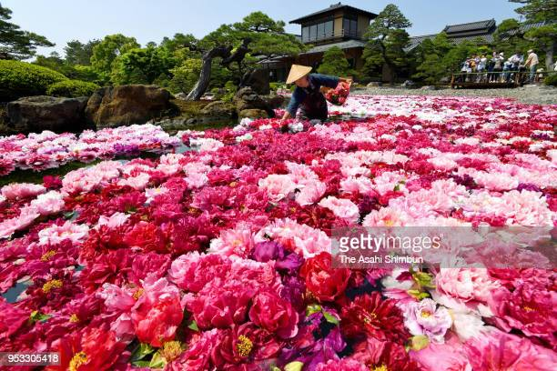 Bloomed peony floating pond at the Yushien Japanese Garden on April 30 2018 in Matsue Shimane Japan