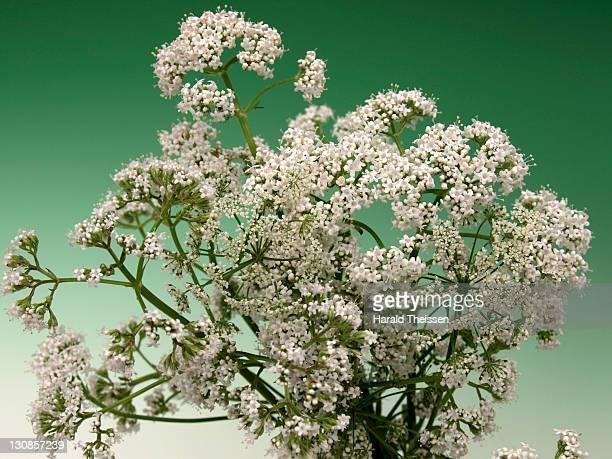 bloomer blooming valerian Valeriana officinalis medical plant