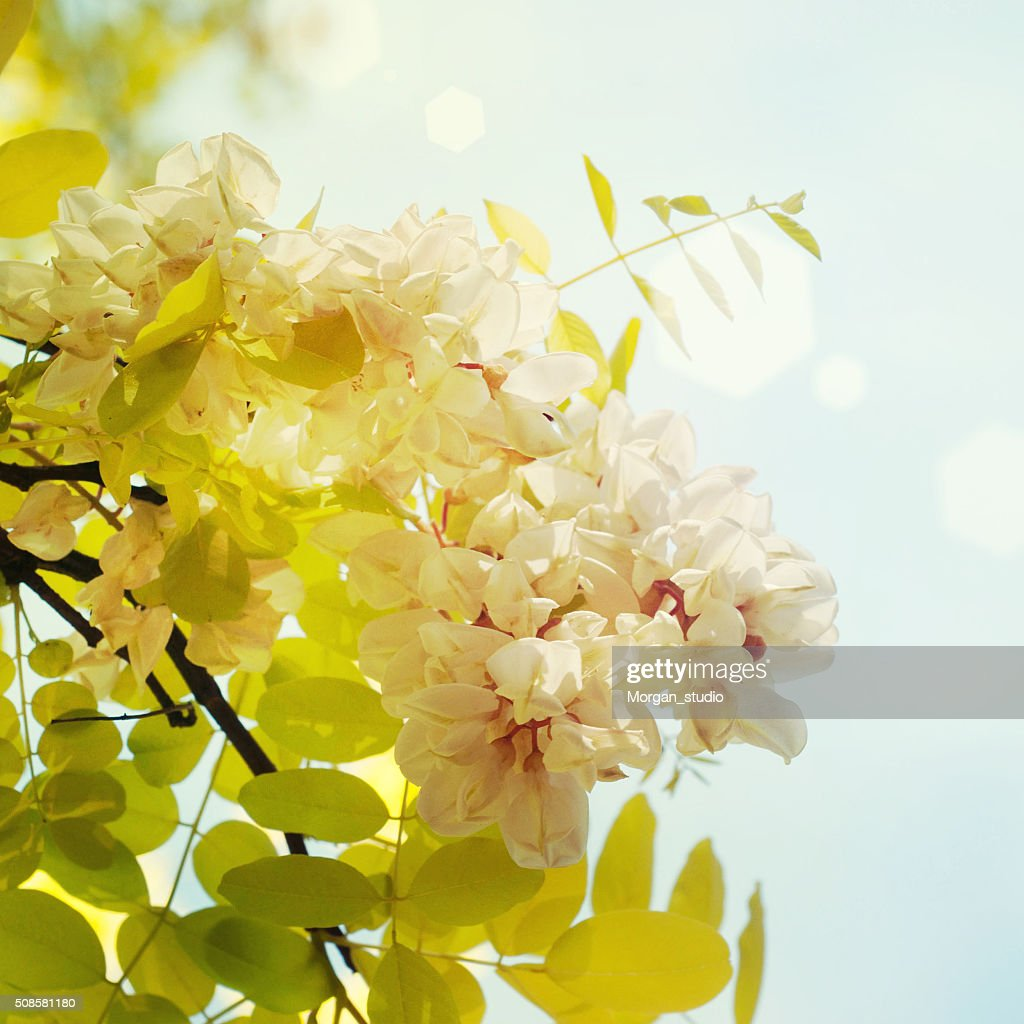 Blooming acacia : Stockfoto