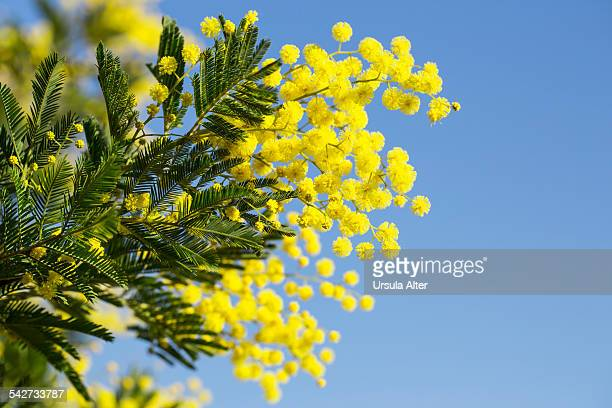 blooming acacia tree against blue sky