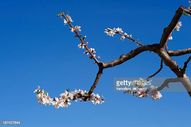 Blooming almond branch in Apulia (Italy)