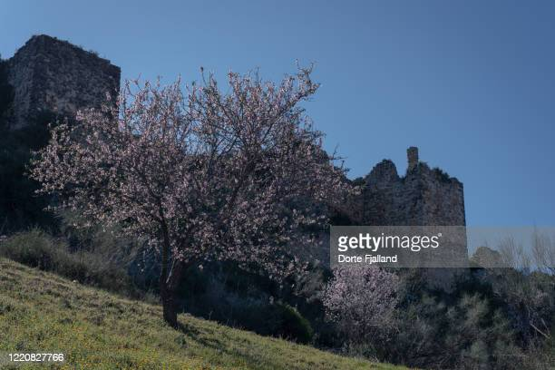 blooming almond tree on a hill in front of an old ruin - dorte fjalland fotografías e imágenes de stock